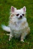 Chihuahua de pelo largo Fotos de archivo