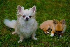 Chihuahua de pelo largo Fotos de archivo libres de regalías