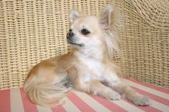 Chihuahua de pelo largo Fotografía de archivo libre de regalías