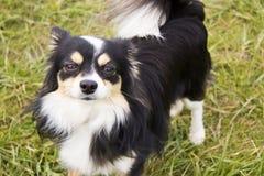 Chihuahua de pelo largo imagenes de archivo