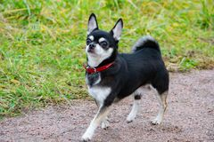 Chihuahua de pelo largo El perro enérgico joven camina en el prado foto de archivo