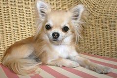 Chihuahua de pelo largo que se relaja en una silla de mimbre Imagenes de archivo