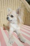 Chihuahua de pelo largo que se relaja en una silla de mimbre Imagen de archivo libre de regalías