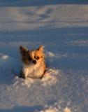 Chihuahua in de sneeuw Stock Foto