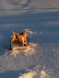 Chihuahua in de sneeuw Royalty-vrije Stock Afbeelding