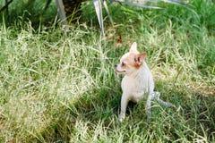 A chihuahua de sorriso pequena bonito do cão no jardim na grama sob a palmeira está descansando no dia de verão ensolarado quente fotos de stock