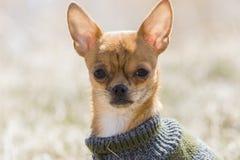 Chihuahua del bambino Fotografie Stock