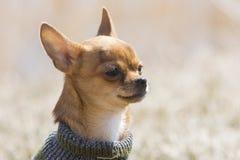 Chihuahua del bambino Fotografia Stock