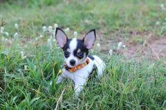 Chihuahua del cane Immagine Stock