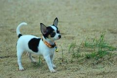 Chihuahua del cane Fotografie Stock