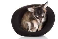 Chihuahua del cane isolata su fondo bianco Immagine Stock Libera da Diritti