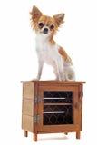 Chihuahua del cucciolo Immagini Stock