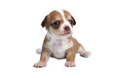 Chihuahua del cucciolo davanti a fondo bianco immagine stock