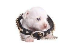 Chihuahua del cucciolo in un grande collare fotografia stock libera da diritti