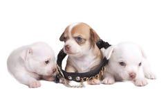 Chihuahua del cucciolo in un grande collare fotografie stock
