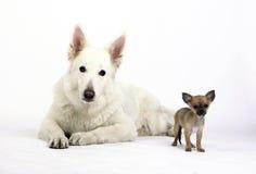Chihuahua del pastor blanco y del pelo corto que mira en la lente de cámara Imagen de archivo libre de regalías