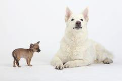 Chihuahua del pelo corto y pastor blanco Imagen de archivo