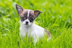Chihuahua del perrito Imágenes de archivo libres de regalías