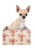 Chihuahua del perrito Fotografía de archivo
