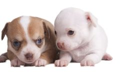 Chihuahua del perrito delante del fondo blanco Imagenes de archivo