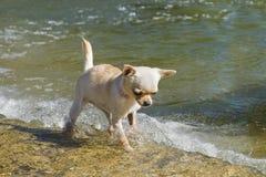 Chihuahua del perrito en el río Imágenes de archivo libres de regalías