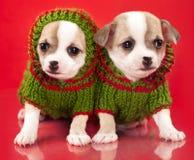 Chihuahua del perrito vestida en fondo rojo foto de archivo libre de regalías