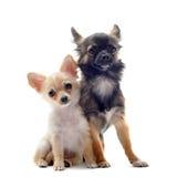 Chihuahua del perrito y del adulto Foto de archivo