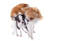 Chihuahua del perrito y del adulto Fotografía de archivo