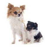 Chihuahua del perrito y del adulto Fotografía de archivo libre de regalías