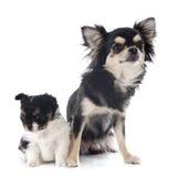 Chihuahua del perrito y del adulto Imagenes de archivo