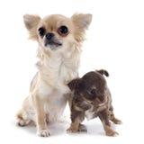 Chihuahua del perrito y del adulto Imagen de archivo libre de regalías