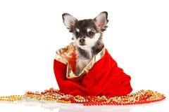 Chihuahua del perro aislada en el fondo blanco Imagen de archivo