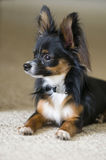 Chihuahua del perro de animal doméstico Imágenes de archivo libres de regalías