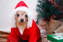 Chihuahua del piccolo cane in un vestito Nuovo anno e natale fotografia stock libera da diritti
