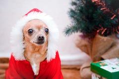 Chihuahua del piccolo cane in un vestito Nuovo anno e natale fotografie stock libere da diritti