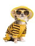 Chihuahua del verano Foto de archivo