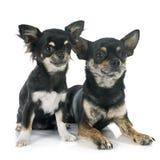 Chihuahua dell'adulto e del cucciolo Fotografia Stock