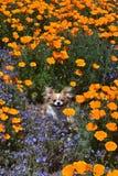 Chihuahua in den Mohnblumen Lizenzfreie Stockbilder
