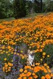 Chihuahua in den Mohnblumen Stockfotografie
