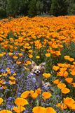 Chihuahua in den Mohnblumen Lizenzfreies Stockfoto