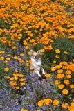 Chihuahua in den Mohnblumen Stockbild