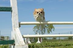 Chihuahua in der Beweglichkeit Stockfotos