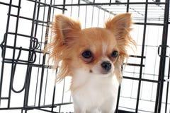 Chihuahua in der Hundehütte lizenzfreie stockfotografie