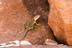 Chihuahua Desert Lizard-2 Royalty Free Stock Images