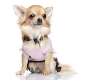 chihuahua dessed up Zdjęcia Royalty Free