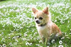 Chihuahua di Brown che si siede sull'erba verde Fotografia Stock