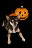 Chihuahua di Halloween fotografia stock