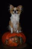 Chihuahua di Halloween Fotografia Stock Libera da Diritti