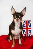 Chihuahua di Pround con la bandiera di inglese Fotografia Stock Libera da Diritti