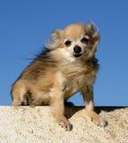 Chihuahua di seduta Fotografia Stock